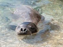 Śródziemnomorska michaelita foka fotografia stock