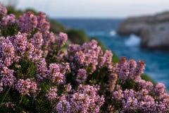 Śródziemnomorska różowa wrzos linia brzegowa Wyspa Gozo, Malta, wygrana Obrazy Royalty Free