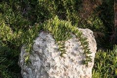 Śródziemnomorska zmielona cierpnięcie roślina Obraz Stock