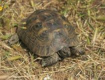Śródziemnomorski żółwia Testudo graeca obraz royalty free