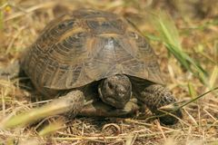 Śródziemnomorski żółwia Testudo graeca zdjęcie stock