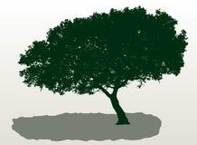 śródziemnomorski drzewo Zdjęcie Stock