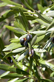 śródziemnomorski gałęziasty zamknięty śródziemnomorski drzewo oliwne Obrazy Royalty Free