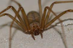Śródziemnomorski odludka pająk zdjęcie stock