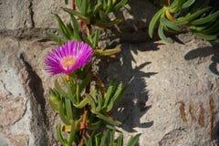 Śródziemnomorskiej rośliny kamienna ściana Zdjęcie Royalty Free