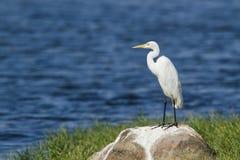 Średni Egret w Pottuvil, Sri Lanka fotografia stock