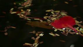 Średni zasięrzutny widok liście na Azjatyckim stawie z wielki czerwony liścia dryfować zbiory