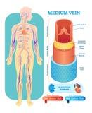 Średniej żyły anatomiczny wektorowy ilustracyjny przekrój poprzeczny Krążeniowego systemu naczynia krwionośnego diagrama plan Edu ilustracja wektor