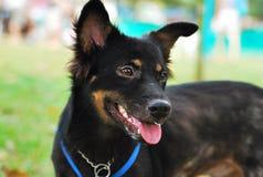 Średniej wielkości czarny pies zdjęcia royalty free