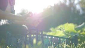Średniorolna dziewczyna z cyfrową pastylką, warzywo uprawa w kuchennym ogródzie jabłka ogrodowego zmielonego żniwa dojrzały czas  zdjęcie wideo