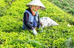 Średniorolna kobiety zrywania herbata na wzgórzu zdjęcie royalty free