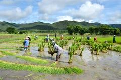 Średniorolna praca w ryżowej plantaci Zdjęcie Stock