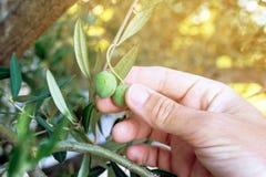 Średniorolna ręka podnosi świeżą zielonej oliwki owoc od gałąź Fotografia Stock