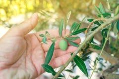 Średniorolna ręka podnosi świeżą zielonej oliwki owoc od gałąź Obraz Stock