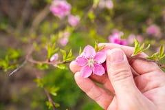 Średniorolna ręki mienia brzoskwini okwitnięcia gałąź w sadzie Zdjęcie Royalty Free
