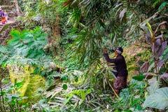 Średniorolna Tnąca trawy uprawa Dla bydło Karmi Wewnątrz Rolnego pole Przy Banjar Kuwum, Ringdikit wioska, Północny Bali, Indonez zdjęcie royalty free