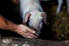 Średniorolne żywieniowe świnie na gospodarstwie rolnym Błotniste świnie na rolnym łasowania jedzeniu Uprawiać ziemię pojęcie wize fotografia stock