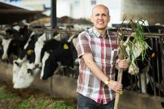 Średniorolne żywieniowe krowy z trawą w gospodarstwie rolnym Zdjęcie Royalty Free