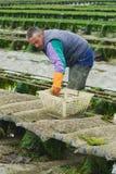 Średniorolne pracy przy ostrygą uprawiają ziemię przy niskim przypływem w Maisy, Francja Zdjęcie Royalty Free