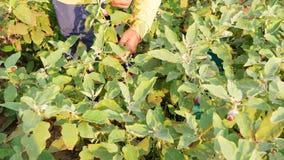 Średniorolne zbierackie oberżyny w ogródzie zbiory