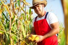 Średniorolnego mienia kukurydzany cob w ręce w kukurydzanym polu Obraz Stock