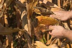 Średniorolnego mienia kukurydzany cob w ręce w kukurydzanym polu Obraz Royalty Free
