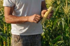 Średniorolnego mienia kukurydzany cob w ręce w kukurydzanym polu Zdjęcie Stock