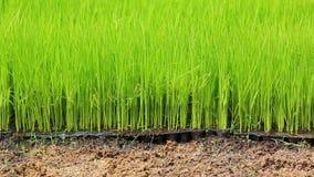 Średniorolnego podlewania mali ryż kiełkują w rolnej roślinie Zdjęcia Stock