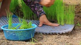 Średniorolnego use ręki junactwa mali ryż kiełkują dla rośliny w ziemi uprawnej Zdjęcie Royalty Free