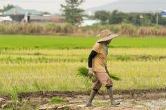 Średniorolni chwytów ryż, spacer i Zdjęcia Stock