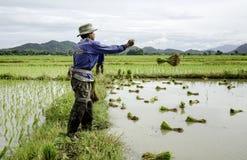 Średniorolni miotanie ryż Obraz Stock