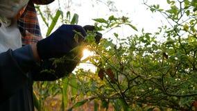 Średniorolni zbieraccy chili wyrka na gałąź z światłem słonecznym na ranku zdjęcie wideo