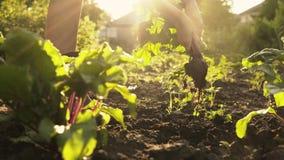 Średniorolni zrywanie buraki na polu organicznie gospodarstwo rolne w zmierzchu zaświecają Lata ?niwo zdjęcie wideo