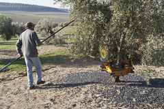 Średniorolny ciupnięcia drzewo z kijem podczas kolekci Fotografia Stock