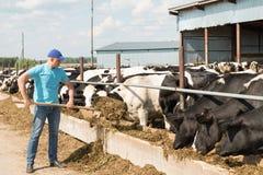 Średniorolny działanie na gospodarstwie rolnym z nabiał krowami Zdjęcia Stock