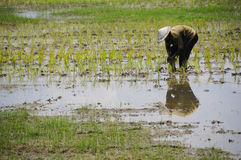 Średniorolny działanie na irlandczyka pola ryż Obrazy Royalty Free
