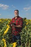 Średniorolny egzamininuje słonecznika pole z pastylką w ręce Fotografia Stock