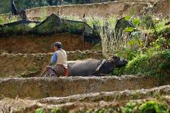 Średniorolny i wodny bizon przy pracą w ryżowych polach Yunnan, Chiny Yuanyang, Yunnan, Chiny zdjęcie stock