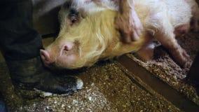 Średniorolny mężczyzna migdali szczęśliwą świniowatą stajnię zbiory