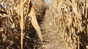 Średniorolny omijanie między rzędami kukurydzana sprawdza plantacja Rolnicza kultura zbiory wideo