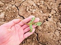 Średniorolny ręka chwyta rapeseed w wiosny polu agriculturist czeka ilość kwiat, zarazy Zdjęcia Stock