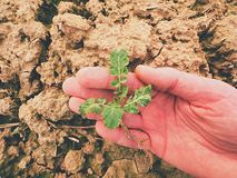 Średniorolny ręka chwyta rapeseed w wiosny polu agriculturist czeka ilość kwiat, zarazy Zdjęcie Stock