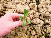 Średniorolny ręka chwyta rapeseed w wiosny polu agriculturist czeka ilość kwiat, zarazy Zdjęcia Royalty Free