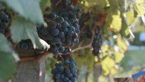 Średniorolny ` s wręcza żniwom czerwonego winogrona od drzewa przy winnicą zdjęcie wideo
