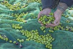 Średniorolny ` s wręcza trzymać garść zielenie zbierać oliwki zdjęcie stock