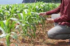 średniorolny używa pastylka komputer sprawdza dane rolnictwo kukurudza f fotografia stock