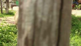 Środek strzelający po młody Waterbuffalo gdy ono chodzi daleko od spotykać swój grupy zdjęcie wideo