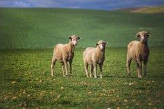 Środka strzał cakle w zieleni polu w Caledon, Zachodni przylądek, Południowa Afryka obraz stock