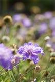 środki kwiatonośnej purpurowy Fotografia Royalty Free
