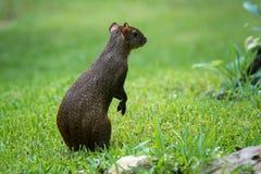Środkowo-amerykański aguti Dasyprocta punctata Przyrody zwierzę Obrazy Stock